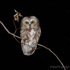 Northern Saw-whet Owl (Turk Images) Tags: aegoliusacadicus aspenparkland northernsawwhetowl alberta birds nsow owls strigidae fall migration