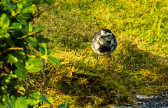 Pied Wagtail playing hide and seek (Geordie_Snapper) Tags: birds canon400mmf56 canon7d2 coasthouse laide piedwagtail scottishhighlands secondcoast september summer