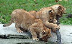 asiatic lion Blijdorp 094A0505 (j.a.kok) Tags: animal asia azie asiaticlion aziatischeleeuw blijdorp mammal zoogdier dier predator leeuw lion pantheraleopersica