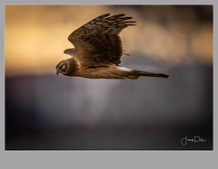 Flickr--2019-01-17-2681.jpg (frankpaliphotography) Tags: prey hawk hunting nature cyaneus birds flying circus brown background flight marsh female ornithology blue wild wildlife feathers predator wings bird harrier outdoors northern isolated raptor sky field