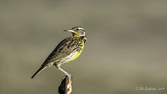 Western Meadowlark (Bob Gunderson) Tags: alamedacounty birds california eastbay icterids northerncalifornia pattersonpassroad sturnellaneglecta westernmeadowlark