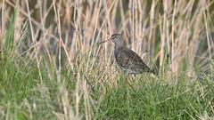 Tringa totanus (k-g kirstein) Tags: nature wild wildlife europe baltic moor swamp fen marsh peatland beach sea coast northsea bird birds wader scolopacidae tringa