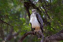Juvenile Martial Eagle (leendert3) Tags: leonmolenaar southafrica wildlife krugernationalpark nature birds martialeagle ngc npc coth5