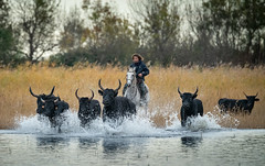 Leadership (MrBlackSun) Tags: blackbull black bull camargue southfrance nikon d850
