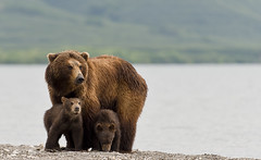 Mother bear protecting cubs (paolo_barbarini) Tags: bears orsi mom mother mamma cubs cuccioli kuril lake kamchatka animals nature animali natura russia wildlife