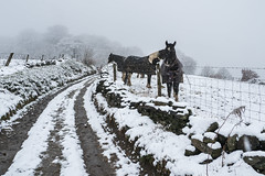 Hilltop Road (Maria-H) Tags: snow winter lane glossop highpeak derbyshire uk olympus omdem1markii panasonic 1235 horses