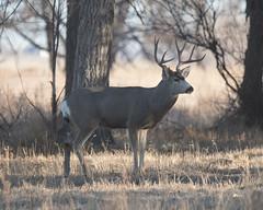 Mule Deer-16 (trdunn) Tags: muledeer colorado weldcounty wildlife animal easternplains nature buck antlers fall trees