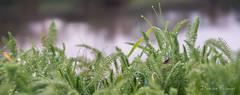 Achillea millefolium (Frissant Damien) Tags: automne bizarre exterieur vert mosnes nikon sigma1770mm28 sigma1770mm sigma damienfrissant d7100 jardins frissantdamien frissant fleurs feuille feuilles hiver calme angers 49 49000 doutre
