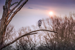 Great Blue Heron on a dead tree branch at sunset (alaskanhorizons) Tags: greatblueheron blueheron heron bird animal waterfowl crane wildlife standing perch tree branch limb deadtree sun sunset sundown dusk twilight nature alone solitary lonely independent survival tranquil serene looking watching observing