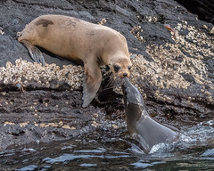 A tender reunion (Fred Roe) Tags: nikond810 nikkorafs80400mmf4556ged nature wildlife mammal sealion galapagossealion zalophuswollebaeki galapagos