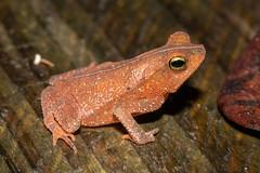 Rhinella sp. (a leaf-litter toad) - Bufonidae - Rainforest Discovery Centre, Soberiana NP, Panama-4 (Nature21290) Tags: amphibian anura bufonidae lowlandbroadleaftropicalevergreenforest panama2018 rainforestdiscoverycentre rhinella soberiananp toad