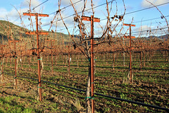 Bare Winter Vines (JB by the Sea) Tags: rutherford napavalley napa winecountry california december2018 winery vineyard skellengerlane