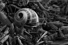 Memento Mori 8 (arbyreed) Tags: arbyreed monochrome bw blackandwhite mementomori dead shell freshwatersnailshell close closeup