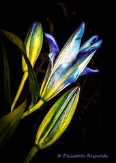 Day 1. (lizzieisdizzy) Tags: lily lilium herbaceous bulb promimantflowers perennial tal elegant