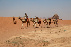 A Caravan of Camels in Wadi Rum (Jill Clardy) Tags: asia jordan location middleeast roadscholar unesco wadirum desert camel caravan bedouin driver rider red sand sandy 20181029201810299l8a3162 365the2018edition 3652018 day302365 29oct18