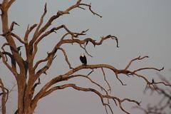 Fish Eagle (Rckr88) Tags: fish eagle fisheagle eagles fisheagles krugernationalpark southafrica kruger national park south africa bird birds tree trees nature outdoors travel travelling