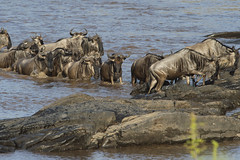 Crossing the Mara river (johnrobjones) Tags: animal animals cnp cnpsafaris kenya kichwatemba mara masai masaimara safari africa mammals nature river wildlife crossing wildebeest hyena vulture crocodile zebra