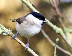 Marsh Tit - Taken at Barnwell Country Park, Oundle, Northants. UK. (Ian J Hicks) Tags: