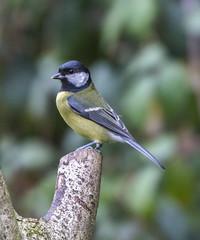 Great Tit (2) (Mal.Durbin Photography) Tags: wildlifephotography maldurbin naturephotography wildbirds forestfarm nature naturereserve