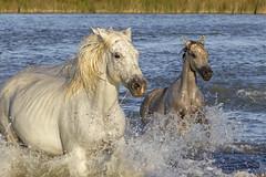 Allez hop! (Xtian du Gard) Tags: xtiandugard animaux chevaux jument poulain nature cavalcade camargue provence