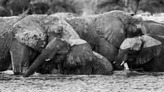 Le bain des éléphants (cd.delaruelle) Tags: eléphant etosha namibia namibie namutoni oshikotoregion canon eos 5dmarkiii noiretblanc blackandwhite