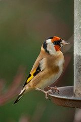 1811-1358 (AO'Brien) Tags: garden birds nature wildlife urban