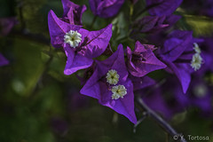 PARQUE FORESTAL I (Yayo Tortosa) Tags: flora flores melilla2018 nikkor1052 nikondf parqueforestal pwmelila