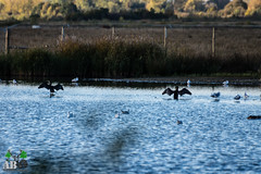 2018-11-02-010.jpg (Andy Beattie Photography) Tags: andybeattie andybeattiephotography bird castleford cormorant england europe halifax leeds nature naturephotography naturereserve photographer photography rspb slta77v sony sonya77 sonyalpha staidans uk westyorkshire wildlife wildlifephotography yorkshire