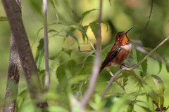 Rufous (sgnelson2) Tags: hummingbird desert tucson arizona aviary