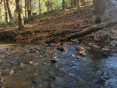 Adventure Dog Running Wild (phthaloblu) Tags: leaves trees rocks brook northcarolina nc gibsonville drago guilfordcounty countyfarm adventuredog