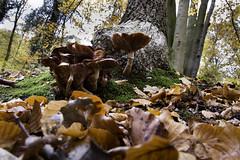 A bit of Autumn (Theo Bauhuis) Tags: buskusbos slinge herfst herfstkleur paddenstoelen mushroom autumn leaves trunk treetrunk