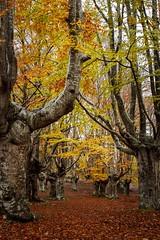 Otoño en Sarria (enekopy) Tags: otoño sarria gorbea zuia alava hayedo
