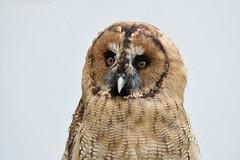 Great grey owl x  Brown tawny owl - Falconry fair (Mandenno photography) Tags: dierenpark dierentuin dieren animal animals ngc nature owl owls bird birds birdofprey nederland netherlands falconry fair falconryfair