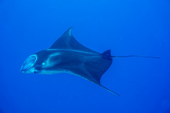 Passing by (agasfer) Tags: 2018 hawaii thebigisland keauhou underwater scuba diving marine life rays sony a6000 intova iss2000