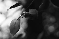 *** (pszcz9) Tags: przyroda nature natura naturaleza liść leaf zbliżenie closeup bokeh beautifulearth sony a77 bw blackandwhite monochrome czarnobiałe
