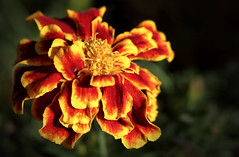 Friday's Flower Power (AnyMotion) Tags: frenchmarigold studentenblume tagetespatula blossom blüte sunshine sonnenschein 2018 floral flowers botanischergarten frankfurt plants pflanzen anymotion 7d2 canoneos7dmarkii colours colors farben yellow gelb red rot autumn fall herbst automne otoño macro makro makroaufnahmen ngc npc