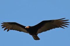 F915 Golden Eagle EF100-400/4.5-5.6 7DMkII @Mexico H89A8323 (Hiro sensei photos) Tags: ef100400mmf4556 7dmkii birds mexico