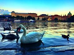 Prague | Czech Republic (maryduniants) Tags: europe birds animal swan river prag praga prague czechrepublic praha vltava malostranská malástrana
