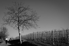 January (Chiaro Chiari) Tags: monocromo nature natura tree winter january walking albero gennaio inverno panorama blackwhite italy italia piemonte asti monferrato wine vino grape uva filari bw bn