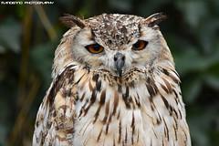 Bengal eagle owl (Mandenno photography) Tags: animal animals dierenpark dierentuin dieren bird birds birdofprey owl owls bengal eagle eagleowl ngc nature belgie belgium falconry