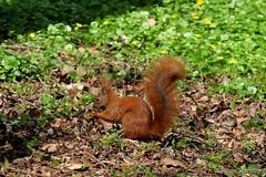 Da habe ich etwas leckeres zum futtern gefunden. .. (Sockenhummel) Tags: eichhörnchen volksparkwilmersdorf eichkater fridolin squirrel tier volkspark wiese herbst fuji xt10