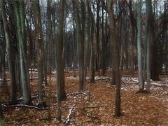 The Woods (bill.d) Tags: kalamazoocounty michigan portage southwestnedgepark us unitedstates autumn fall nature outdoor overcast park snow