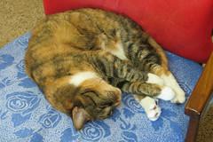 Gracie 7 November 2018 1449Ri 4x6 (edgarandron - Busy!) Tags: gracie patchedtabby cat cats kitty kitties tabby tabbies cute feline
