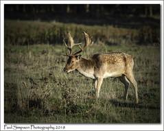Fallow Deer (Paul Simpson Photography) Tags: mammal fallowdeer buck antlers normanbypark scunthorpe nature sonya77 naturalworld imagesof imageof photosof photoof grass paulsimpsonphotography animalphotos animalphotography