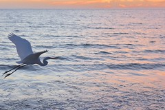Great Egret at sunset (rootcrop54) Tags: egret bird greategret sanibel island florida usa sunset lowlight beautiful pinksea ocean sea