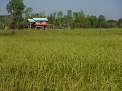 Ripening Rice in Jom Nang Nuea 2 (SierraSunrise) Tags: thailand phonphisai nongkhai isaan esarn rice paddy riceparry paddyrice ricepaddies farming agriculture