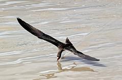 Rynchops niger (mazama973) Tags: bird oiseau guyane guyanefrançaise frenchguiana rynchopidae rynchopsniger blackskimmer becenciseauxnoir
