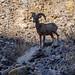 Bighorn Sheep in Titus Canyon