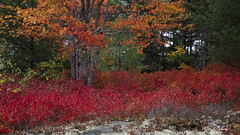 Burning Blueberries_27A7434 (Alfred J. Lockwood Photography) Tags: alfredjlockwood nature landscape autumn autumnalcolor fallcolor morning overcast fallfoliage color forest blueberrybush mapletrees pinetree maine acadianationalpark leaves