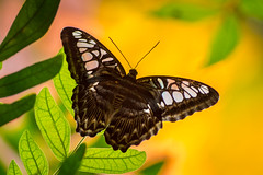 Tropical Mix (PopsDigital) Tags: billpevlor popsdigital photography landscape color colour insect butterfly butterflies nature macro wings legs antenna leaf leaves bug bugs insects detailed details detail spots whitespots garden jungle sonyslta77v